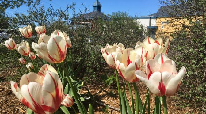 Les tulipes Canada 150